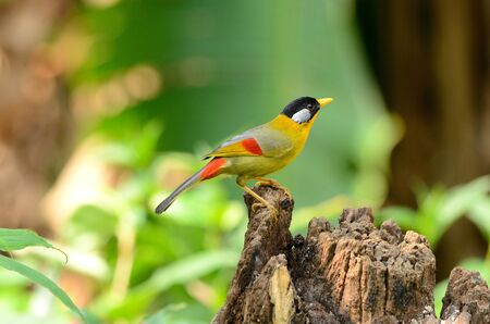 leiothrix: beautiful male silver-eared mesia Leiothrix argentauris