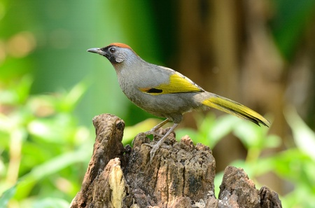 laughingthrush: beautiful chestnut-crowned laughingthrush Garrulax erythrocephlus  Stock Photo