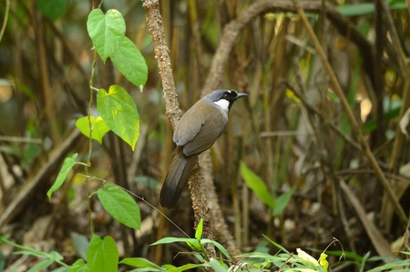 beautiful black-throated laughingthrush Garrulax chinensis  Stock Photo - 12654679