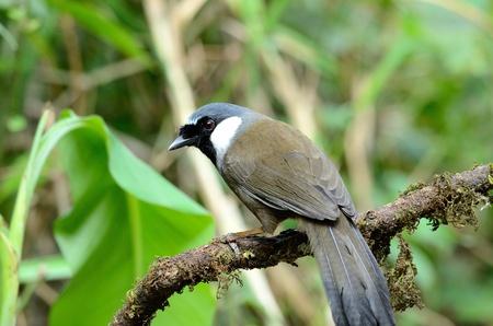 laughingthrush: beautiful black-throated laughingthrush Garrulax chinensis  Stock Photo