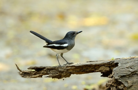 beautiful juvenile female oriental magpie-robin