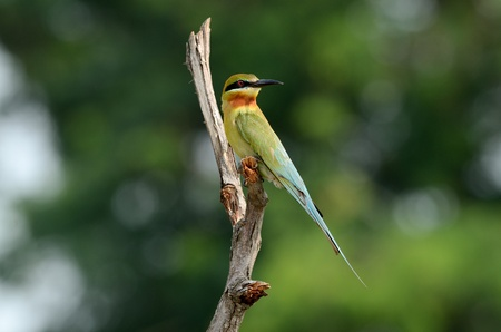 beautiful blue tailed bee eater Stock Photo - 12946084