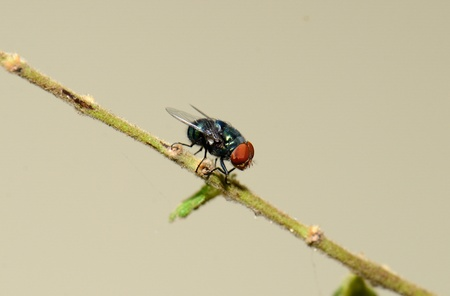 beautiful blow fly resting on tiny branch photo