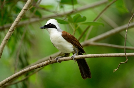 beautiful white-crested laughingthrush  Garrulax leucolophus  possing on tree Stock Photo - 13803689