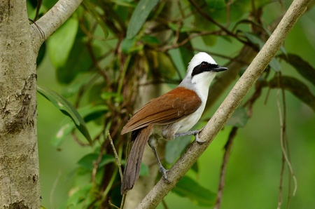 flauna: beautiful white-crested laughingthrush  Garrulax leucolophus  possing on tree