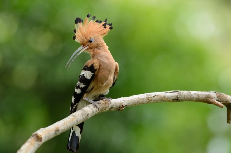 beautiful eurasian hoopoe  Upupa epops  possing on branch photo