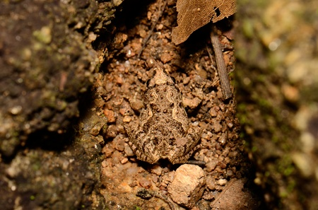 beautiful female Ornate chorus frog  Microhyla fissipes  on ground photo