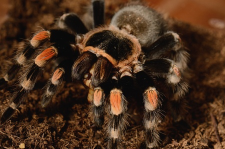 flauna: beautiful mature female Maxican red knee tarantula  Brachypelma smithi  eating