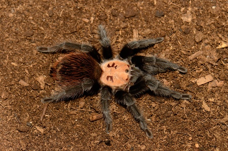 flauna: beautiful subadult female Maxican golden red rump tarantula  Brachypelma albiceps  Stock Photo