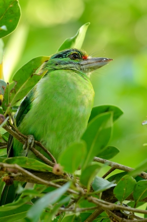 beautiful moustached barbet  Megalaima incognita  in fruiting tree Stock Photo - 16077749