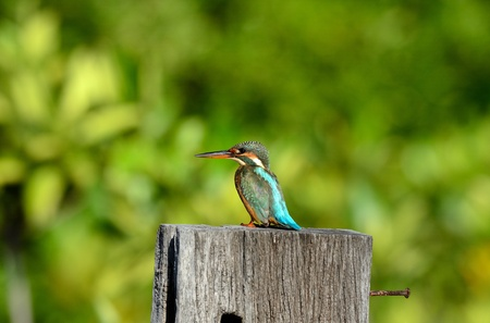 beautiful female common kingfisher  Alcedo atthis  sitting on branch