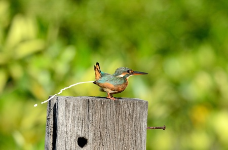 common kingfisher: beautiful female common kingfisher  Alcedo atthis  sitting on branch