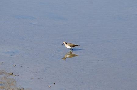 beautiful standing alone common sandpiper walking on the sea photo
