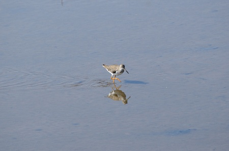 beautiful standing alone common redshank walking on the sea