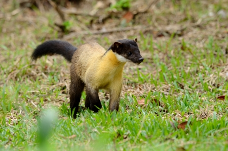 brown throated: beautiful male Yellow-throated Marten  Martes flavigula  at Thai national park