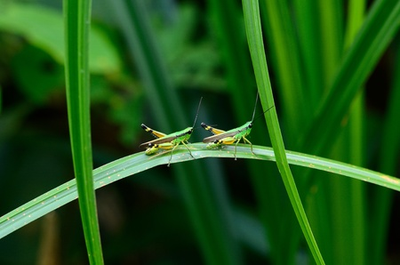 beautiful adult grasshopper sitting on grass in Thai forest