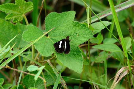 beautiful Common Banded Demon butterfly  Notocrypta paralysos  on leaf near the road track