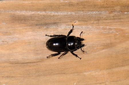 beautiful female Serrognathus titanus beetle in Thai forest