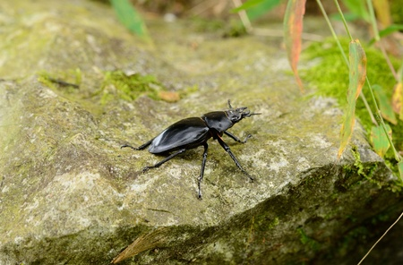 beautiful female Odontolabis siva beetle in Thai forest Stock Photo