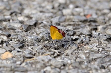 beautiful Golden Sapphire butterfly  Hellophorus brahma  on the road track