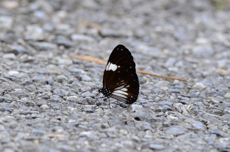 beautiful Magpie Crow butterfly  Euploea radamanthus  on the road track Stock Photo