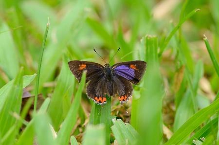 beautiful Golden Sapphire butterfly  Hellophorus brahma  on grass near the road track