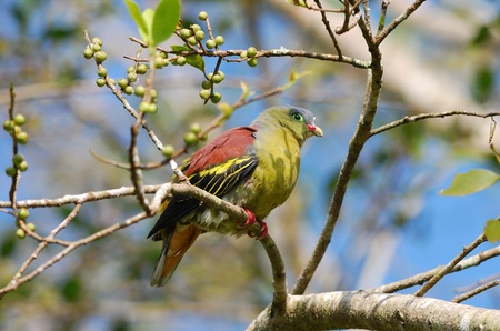 beautiful thick- billed pigion in the fruit tree Stock Photo