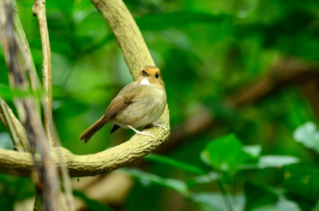 beautiful rufous-browed flycatcher Ficedula solitaris  in Thai forest Stock Photo - 16169507