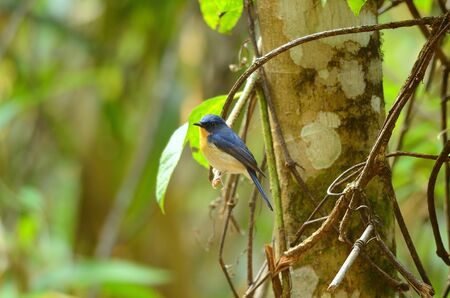 beautiful male hill blue flycatcher  Cyornis banyumas  possing Stock Photo - 16169823