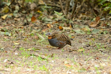 beautiful rufous-throated partridge Arborophila rufogularis  in  Thai forest Stock Photo - 16169811