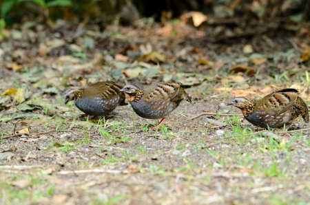 beautiful rufous-throated partridge Arborophila rufogularis  in  Thai forest