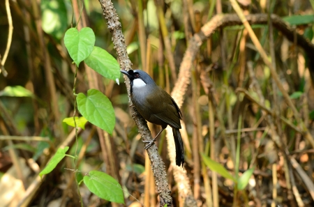 beautiful black-throated laughingthrush Garrulax chinensis  in Thai forest Stock Photo - 16169885