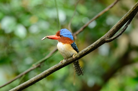 beautiful male banded kingfisher  Lacedo pulchella  in Thai forest Stock Photo - 16169999