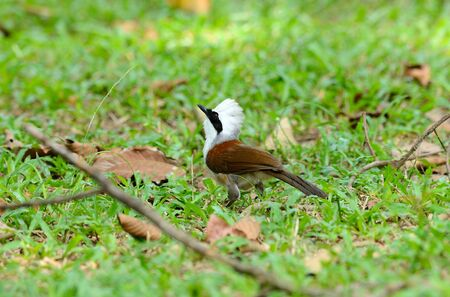 beautiful white-crested laughingthrush  Garrulax leucolophus  possing on ground Stock Photo - 16169764