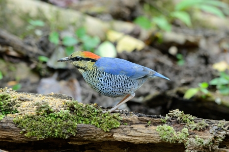 beautiful male blue pitta  Pitta cyanea  in Thai forest