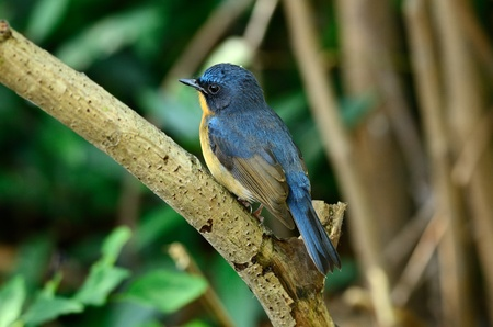 beautiful male hill blue flycatcher  Cyornis banyumas  possing Stock Photo - 16170059