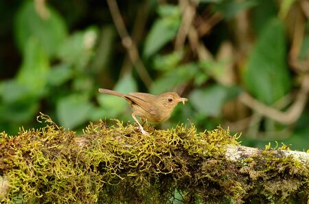 beautiful buff-breasted babbler Trichastoma tickelli  in Thai forest Stock Photo - 16169947