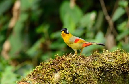beautiful male silver-eared mesia  Leiothrix argentauris  in Thai forest Stock Photo - 16169942