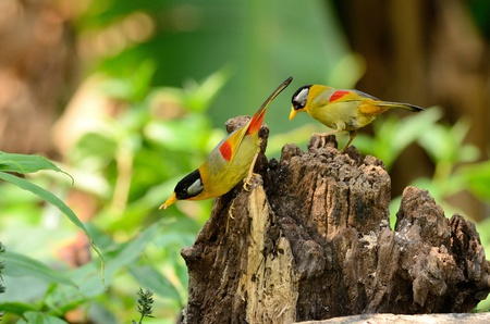 leiothrix: beautiful male and female silver-eared mesia  Leiothrix argentauris  in Thai forest