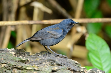 beautiful male white-tailed robin  Cinclidium leucurum  in Thai forest Stock Photo - 17101623