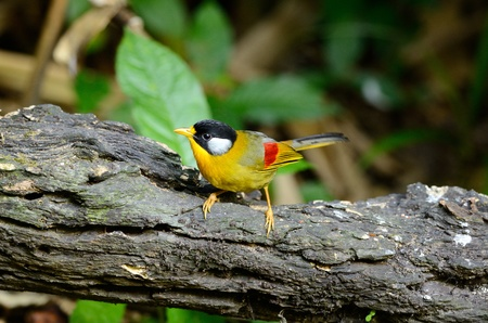 beautiful female silver-eared mesia Leiothrix argentauris  in Thai forest Stock Photo - 17101625