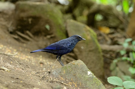 beautiful blue whistling thrush  Myiophoneus caeruleus  in Thai forest Stock Photo - 17101600