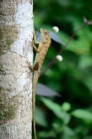 versicolor: beautiful Garden Fence Lizard  Calotes versicolor  in Thai forest