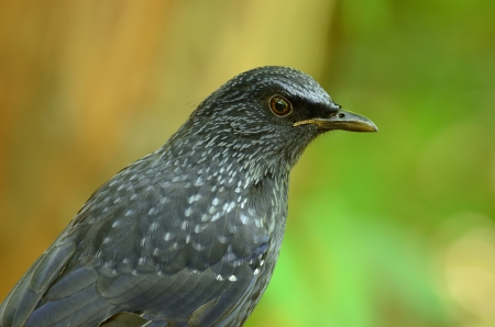 beautiful blue whistling thrush  Myiophoneus caeruleus  in Thai forest photo