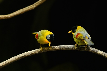 leiothrix argentauris: beautiful male and female silver-eared mesia  Leiothrix argentauris  in Thai forest