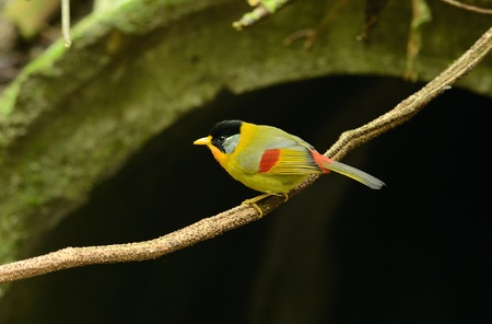 beautiful male silver-eared mesia  Leiothrix argentauris  in Thai forest Stock Photo - 17101595