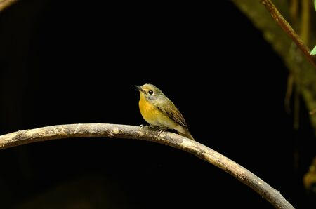 beautiful female hill blue flycatcher  Cyornis banyumas  possing Stock Photo - 17101589