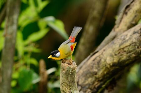 leiothrix: beautiful male silver-eared mesia  Leiothrix argentauris  in Thai forest