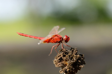 beautiful male Eastern Scarlet Darter  Crocothemis servilia  in Thai forest photo