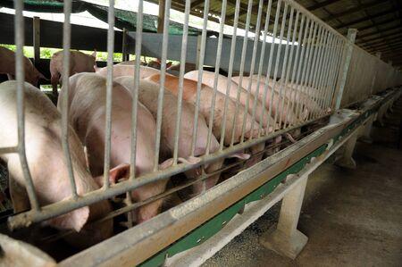 Thai style piglet nursery house in Thai pig farm Stock Photo